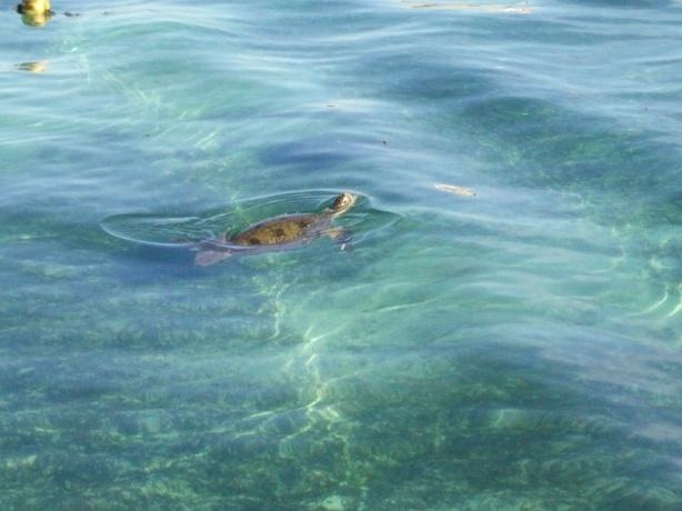 See, penyu dengan santainya berenang depan dermaga kami...