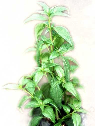 herbal-sambiloto